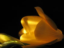 Freesia giallo Fotografie Stock