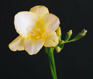 Freesia jaune photographie stock