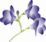 Freesia púrpura Fotos de archivo