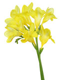 Freesia. Pictured yellow freesia in a white background Stock Photo