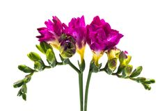 Freesia Pink Royalty Free Stock Images