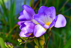 Freesia. Purple freesia flowers in the garden Stock Photos