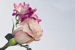 Freesia and rose Stock Image