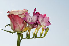 Freesia and rose Royalty Free Stock Image