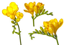 Freesia set Royalty Free Stock Image