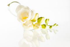 Freesia. Sprig of freesia reflected on glass Royalty Free Stock Image