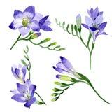 Freesia viola Fiore botanico floreale Wildflower selvatico della foglia della molla isolato Immagine Stock