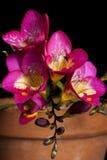 Freesia violet image stock