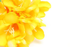 Freesia in a white background Royalty Free Stock Image