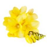 freesias κίτρινα Στοκ Εικόνα