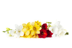 Freesias Royalty Free Stock Photography
