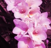 Freesias Images stock