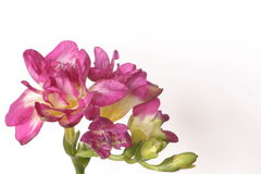 Freesias royalty free stock images