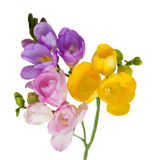 Freesias brunch Stock Photo