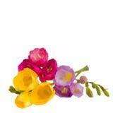 Freesias flowers bouquet Stock Photos
