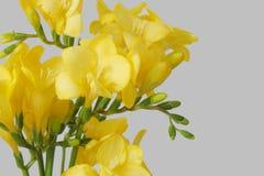 Freesias gialli fotografie stock libere da diritti