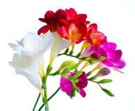 Freesias multicolores image stock