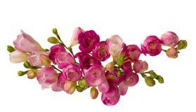 Freesias roses photos stock