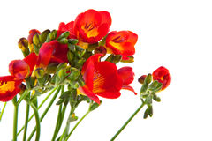 Freesias rouges Photos stock