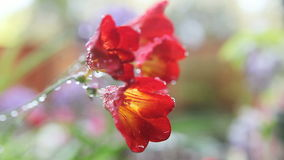 Freesias with water drops stock video