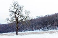 Freestanding tree in winter.  stock image