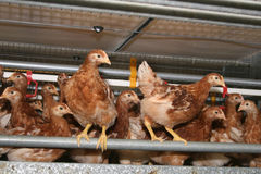 Freewheel brown laying hens late in the stable. Brown pullets laying in her stall for free Stock Photo