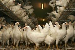 Freewheel in ritardo le galline ovaiole di colore marrone nella scuderia Fotografia Stock Libera da Diritti