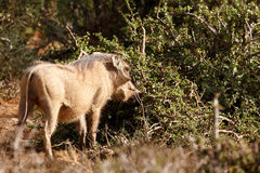 Freez -非洲野猪属africanus共同的warthog 免版税库存照片