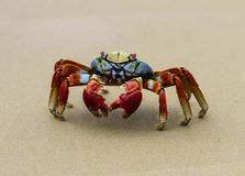 Freeze. This sally light-foot crab stands frozen Royalty Free Stock Photo