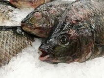 Freeze Fish meat product on shelf in the store. Pile of fish on ice. Fresh seafood - fish on ice. Freeze Fish meat product on shelf in the store. Pile of fish royalty free stock photo