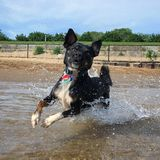 Freeze frame of black dog running through shallow water. A small black dog is caught in a freeze frame image of him running through shallows of Lake Michigan Royalty Free Stock Photo