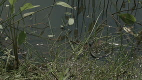Freeze grass snake, natrix on pond with duckweed. Innocuous snake, Grass snake (Natrix natrix) on swamp water with vegetation stock footage