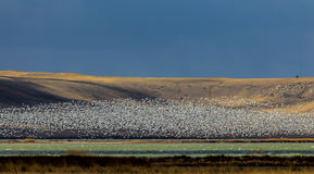 Freezeout Lakes Snowgeese Royalty Free Stock Images