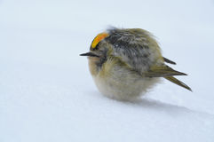 Freezing bird in snow Royalty Free Stock Photo