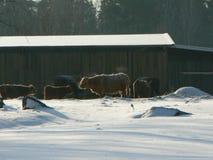 Freezing Cattle Royalty Free Stock Photos
