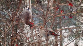 Winter in Russia. Beautiful Birds eat berries.