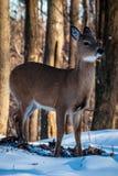 Freezing Deer Stock Photos