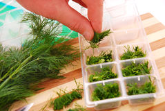 Freezing the dill for winter. Freezing the dill in ice cube mould for winter Stock Photo