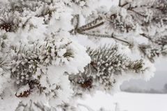 Freezing fog on trees. Icing on the branches of pine trees. Cold morning in the countryside. Rural Landscape in the Czech Republic Stock Photography