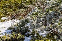 Freezing ice on pine Stock Photo