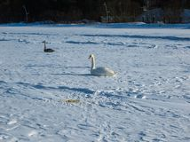 Freezing on the ice of the Riga Bay swans in the winter of 2018 stock images