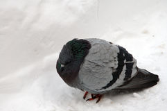 Freezing pigeon Royalty Free Stock Photography