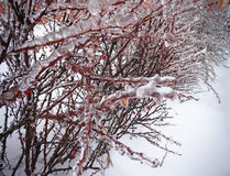 Freezing rain on the branches. Of a shrub with leaves trapped in ice Stock Photography