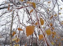 Freezing rain on the branches. Of a shrub with leaves trapped in ice Royalty Free Stock Images