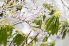 Freezing Rain Ice Storm Coats Plants Stock Images