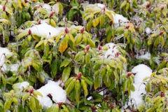 Freezing Rain Ice Storm Coats Plants Royalty Free Stock Image