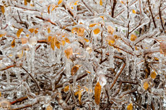 After freezing rain. A layer of ice coats the leaves and branches of a bush after an ice storm Stock Photography