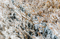 After freezing rain. A layer of ice coats the leaves and branches of a bush after an ice storm Royalty Free Stock Photos