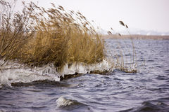 Freezing reed. The strong wind hits the water over the reeds making it freezes Stock Image