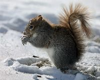 Freezing Squirrel Snacks on a Cold Winter Day Royalty Free Stock Photography